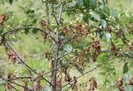 FOT. 8. Brunatna zgnilizna na wiśni – zamieranie zainfekowanych kwiatów i liści