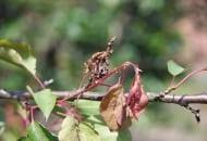 FOT. 10. Rak bakteryjny – zamieranie zakażonych kwiatów i pędów…