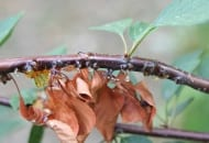 FOT. 11. …oraz wycieki gumy na pędach wiśni