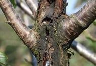 FOT. 13. …oraz gumoza na pękających konarach czereśni