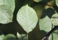 FOT. 14. Srebrzystość liści wiśni