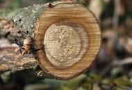 FOT. 15. Srebrzystość liści – zgnilizna drewna pnia czereśni