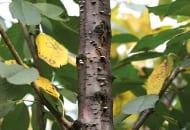 FOT. 16. Owocniki grzyba Chondrostereum purpureum na przewodniku czereśni