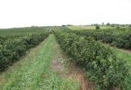 FOT. 2b. W Polsce porzeczkę czarną uprawia się w około 15 tys. gospodarstw