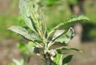 FOT. 3. Deformacja wierzchołka korony młodego drzewa jabłoni odmiany 'Red Jonaprince' porażonego mączniakiem