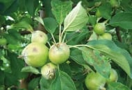 FOT. 3. Porażenie parchem z infekcji pierwotnych zawiązków owoców i liści w trzeciej dekadzie czerwca