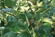 FOT. 1a. Nekrotyczna plamistość liści jabłoni na odmianie 'Golden Delicious'