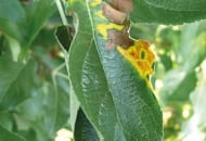 FOT. 1b. Nekrotyczna plamistość liści jabłoni na odmianie 'Golden Delicious'