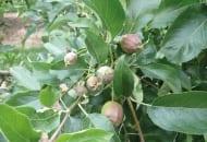 FOT. 2a. Zawiązki owoców po przerzedzaniu chemicznym przed opadnięciem