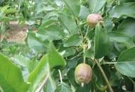 FOT. 2b. Zawiązki owoców po przerzedzaniu chemicznym po opadnięciu