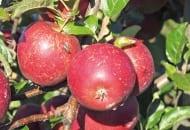 FOT. 3. Ordzawienia na jabłkach