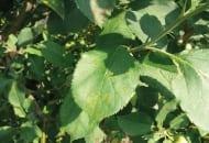 FOT. 6a. Objawy parcha jabłoni z infekcji pierwotnych na liściach