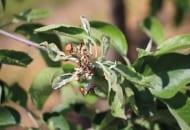 FOT. 9a. Objawy mączniaka jabłoni na rozwijających się liściach i kwiatach wiosną