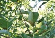 FOT. 1. Chrabąszcz majowy – osobnik dorosły