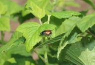FOT. 3a. Ogrodnica niszczylistka – osobnik dorosły