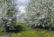 FOT. 2. Podczas kwitnienia drzew owocowych zwykle kwitną też chwasty w pasach murawy w międzyrzędziach