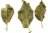 FOT. 1. Objawy żerowania pordzewiacza – charakterystycznie łódkowato wygięte liście, od brzegów pojawiające się zbrązowienie ('Red Jonaprince'/'M.9', trzecia dekada czerwca)