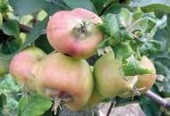 Fot. 3. Zdeformowane owoce – skutek żerowania mszycy jabłoniowo-babkowej