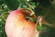 Fot. 1a. Jabłka uszkodzone przez zwójkę liściową