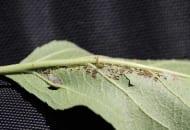Fot. 3b. Objawy żerowania zwójki bukóweczki na dolnej stronie liścia jabłoni