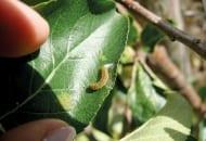 Fot. 4b. Gąsienica zwójki siatkóweczki
