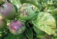 Fot. 1. Objawy parcha jabłoni na liściach i owocach