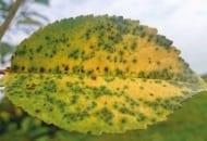 Fot. 3. Drobna plamistość liści drzew pestkowych