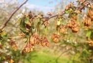 Fot. 4. Brunatna zgnilizna drzew pestkowych – zamierające kwiaty wiśni