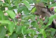 """Fot. 3. Wiele zawiązków jabłoni """"ukrywało"""" się między liśćmi, co stwarzało obraz słabego zawiązania"""