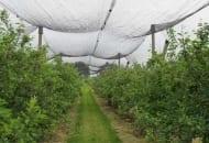 Fot. 9. Skierniewickie doświadczenia wskazują na słabsze wybarwianie się jabłek pod siatkami przeciwgradowymi