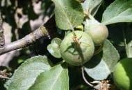 Fot. 14. Uszkodzenia liści spowodowane przez przędziorka owocowca