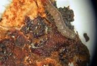 Fot. 8. Gąsienica zwójki koróweczki