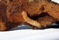 Fot. 9. Gąsienica przeziernika jabłoniowca