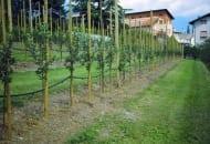 Fot. 1. Obecnie drzewa owocują już w pierwszych latach po posadzeniu