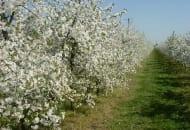 Choroby i szkodniki czereśni, wiśni i śliw zwalczane w kwietniu oraz maju