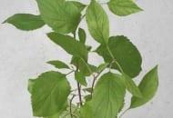 Fot. 6. Powiększone przylistki u jabłoni 'Golden Delicious' porażonej fitoplazmą proliferacji jabłoni