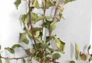 Fot. 8. Wybijanie cienkich pędów z pąków bocznych jabłoni porażonej fitoplazmą żółtaczki astra