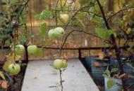 Fot. 9. Gumowatość drewna jabłoni – zmiana pokroju drzewa