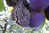 Fot. 1. Na porażonych owocach szare skupienia zarodników charakterystyczne dla M. laxa i M. fructicola