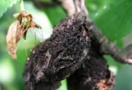 Fot. 4. Mumie porażonych w zeszłym sezonie owoców mogą bardzo długo pozostawać na drzewie (tutaj po kwitnieniu śliw w kolejnym sezonie wegetacji)