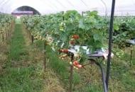 Fot. 1. Na Zachodzie popularna jest uprawa truskawek powtarzających owocowanie pod osłonami na stelażach z nawadnianiem i fertygacją