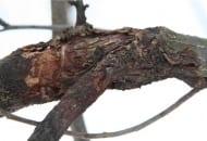 FOT. 2. Owocniki grzyba znaleźć można na uszkodzonej, zrakowaciałej korze drzew
