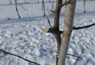 FOT. 4. Pozostawianie długich czopów podczas zimowego cięcia drzew zapobiega rozprzestrzenianiu się choroby