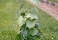FOT. 4. Długa sadzonka winorośli składająca się z 3- lub 4- pąkowych odcinków łozy z 25–35-centymetrowym trzonem korzeniowym