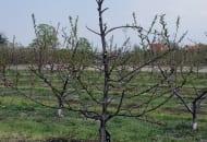 FOT. 2. Brzoskwinia po cięciu. W tym przypadku cięcie wiosenne polegało na usunięciu nadmiaru pędów i wyszczupleniu górnej połowy koronki. Pędy najsilniejsze i najdłuższe znajdują się w pierwszym, dolnym okółku