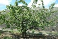 FOT. 4. Po wiosennym prześwietleniu korony, polegającym na wycięciu (bez skracania) nadmiaru pędów, nadal znajdujemy w koronie tylko krótkopędy