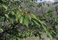 FOT. 5. Jeżeli w trakcie wiosennego cięcia zastosujemy skracanie gałęzi, a nie tylko ich wycinanie, to już po 2 miesiącach pojawią się silne długopędy. Dobrze to wróży zahamowaniu/odwróceniu tendencji drobnienia owoców czereśni karłowych