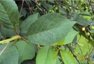 FOT. 1. Nieznaczne objawy porażenia drobną plamistością liści drzew pestkowych na górnej stronie liści