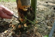 FOT. 11. Larwy zwójki koróweczki mogą być pierwotną przyczyną uszkodzenia tkanek kory, co grozi wtórnymi infekcjami przez patogeny powodujące nekrozy i zgorzele