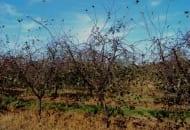 FOT. 4a. Porażenie drobną plamistością liści drzew pestkowych wiśni